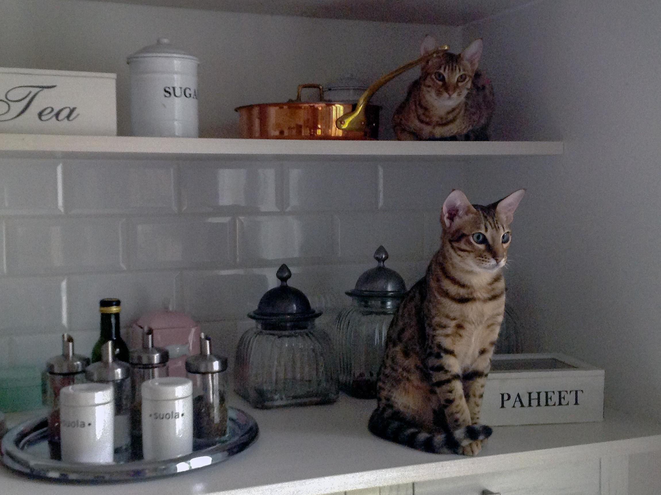 Eläinlääkäriasema Helmen tietoartikkelit - kissan tiineys