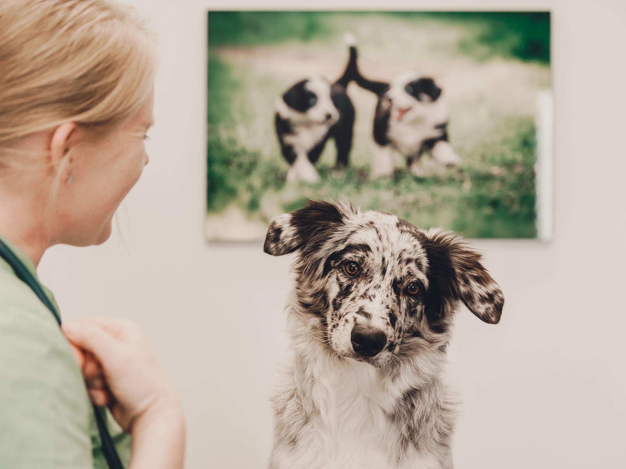 Eläinlääkäriasema Helmen tietoartikkelit - Koiran ksylitolimyrkytys