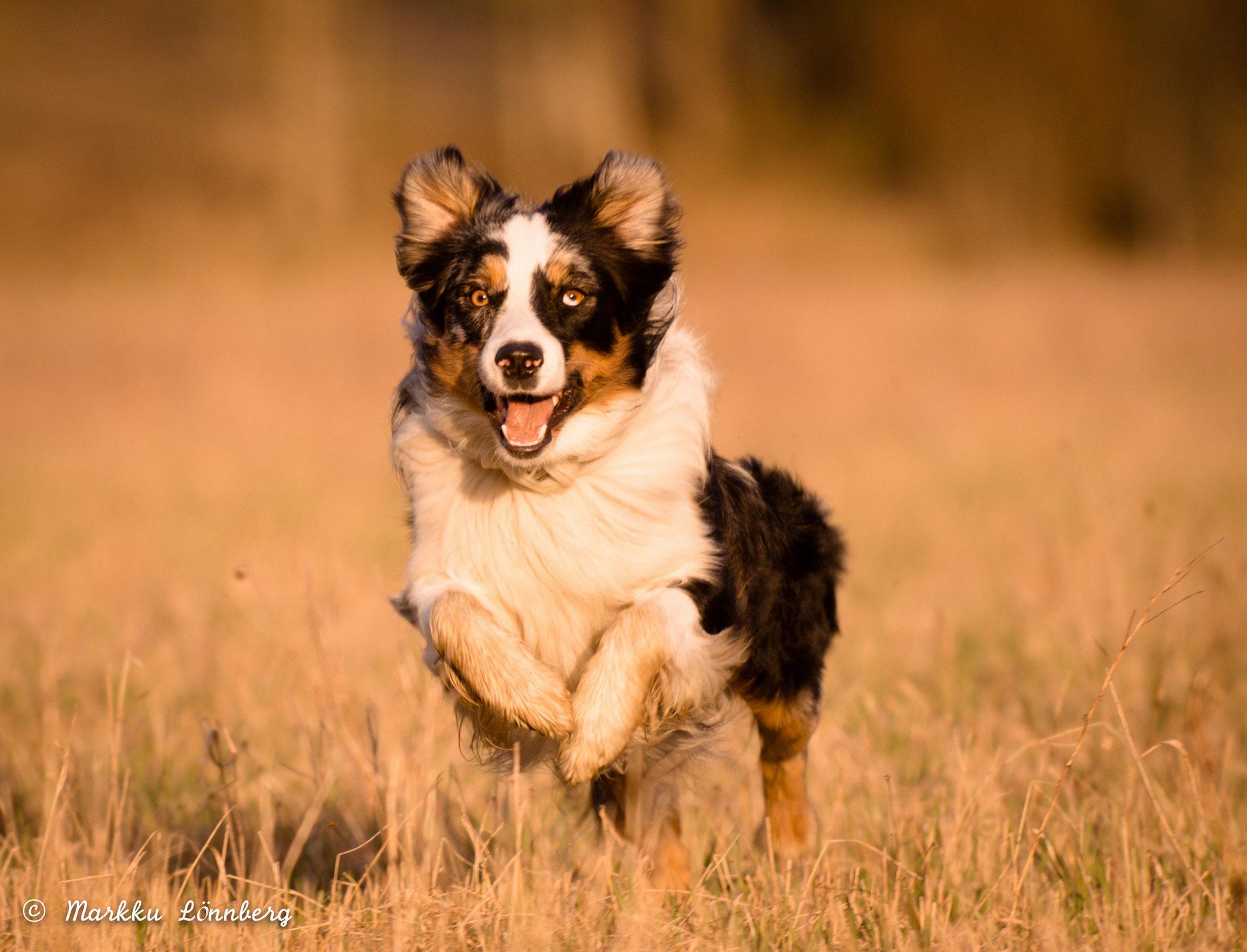Eläinlääkäriasema Helmen tietoartikkelit - Myrkytykset koirilla
